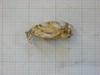 http://mczbase.mcz.harvard.edu/specimen_images/mammalogy/large/31424_Otomys_barbouri_hl.jpg