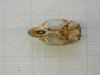 http://mczbase.mcz.harvard.edu/specimen_images/mammalogy/large/31426_Otomys_tropicalis_elgonis_hv.jpg