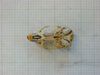 http://mczbase.mcz.harvard.edu/specimen_images/mammalogy/large/31438_Otomys_barbouri_hv.jpg