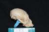 http://mczbase.mcz.harvard.edu/specimen_images/mammalogy/large/31697_Alouatta_belzebul_hl.jpg