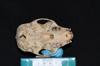 http://mczbase.mcz.harvard.edu/specimen_images/mammalogy/large/31697_Alouatta_belzebul_hv.jpg