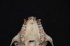 http://mczbase.mcz.harvard.edu/specimen_images/mammalogy/large/31698_Alouatta_belzebul_hv2.jpg