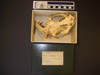 http://mczbase.mcz.harvard.edu/specimen_images/mammalogy/large/31703_Choloepus_didactylus_hv.jpg