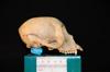 http://mczbase.mcz.harvard.edu/specimen_images/mammalogy/large/31706_Ateles_Paniscus_hl2.jpg