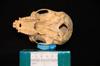 http://mczbase.mcz.harvard.edu/specimen_images/mammalogy/large/31706_Ateles_Paniscus_hv.jpg
