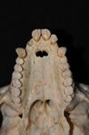 http://mczbase.mcz.harvard.edu/specimen_images/mammalogy/large/31706_Ateles_Paniscus_hv2.jpg