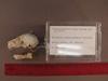 http://mczbase.mcz.harvard.edu/specimen_images/mammalogy/large/31721_Otolemur_crassicaudatus_lasiotis_hl.jpg
