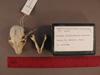 http://mczbase.mcz.harvard.edu/specimen_images/mammalogy/large/31722_Otolemur_crassicaudatus_lasiotis_hd.jpg