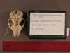 http://mczbase.mcz.harvard.edu/specimen_images/mammalogy/large/31722_Otolemur_crassicaudatus_lasiotis_hv.jpg