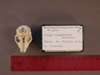 http://mczbase.mcz.harvard.edu/specimen_images/mammalogy/large/31723_Galago_senegalensis_braccatus_hv.jpg