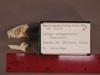 http://mczbase.mcz.harvard.edu/specimen_images/mammalogy/large/31725_Galago_senegalensis_braccatus_hl.jpg
