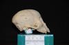 http://mczbase.mcz.harvard.edu/specimen_images/mammalogy/large/31759_Ateles_Paniscus_hl2.jpg