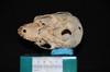 http://mczbase.mcz.harvard.edu/specimen_images/mammalogy/large/31759_Ateles_Paniscus_hv.jpg