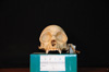 http://mczbase.mcz.harvard.edu/specimen_images/mammalogy/large/31775_Ateles_Paniscus_hf.jpg