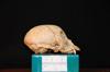 http://mczbase.mcz.harvard.edu/specimen_images/mammalogy/large/31775_Ateles_Paniscus_hl.jpg
