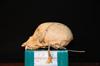 http://mczbase.mcz.harvard.edu/specimen_images/mammalogy/large/31775_Ateles_Paniscus_hl2.jpg