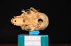 http://mczbase.mcz.harvard.edu/specimen_images/mammalogy/large/31775_Ateles_Paniscus_hv.jpg