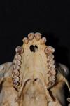 http://mczbase.mcz.harvard.edu/specimen_images/mammalogy/large/31775_Ateles_Paniscus_hv2.jpg