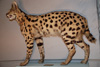 http://mczbase.mcz.harvard.edu/specimen_images/mammalogy/large/32532_Felis_serval_serval_l2.jpg