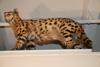 http://mczbase.mcz.harvard.edu/specimen_images/mammalogy/large/32532_Felis_serval_serval_v.jpg