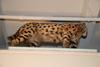 http://mczbase.mcz.harvard.edu/specimen_images/mammalogy/large/32532_Felis_serval_serval_v2.jpg