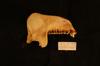 http://mczbase.mcz.harvard.edu/specimen_images/mammalogy/large/34799_Presbytis_vetulus_vetulus_ml.jpg