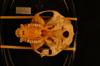 http://mczbase.mcz.harvard.edu/specimen_images/mammalogy/large/34802_Presbytis_vetulus_nestor_hv.jpg