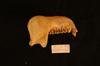 http://mczbase.mcz.harvard.edu/specimen_images/mammalogy/large/34802_Presbytis_vetulus_nestor_ml.jpg