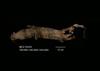 http://mczbase.mcz.harvard.edu/specimen_images/mammalogy/large/35333_Genetta_maculata_maculata_v.jpg