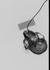 http://mczbase.mcz.harvard.edu/specimen_images/mammalogy/large/35636_Presbytis_cristata_ultima_skullx.jpg