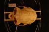 http://mczbase.mcz.harvard.edu/specimen_images/mammalogy/large/35638_Presbytis_rubicunda_hd.jpg