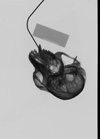 http://mczbase.mcz.harvard.edu/specimen_images/mammalogy/large/35672_Presbytis_cristata_ultima_skullx.jpg