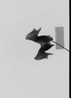 http://mczbase.mcz.harvard.edu/specimen_images/mammalogy/large/35697_Macaca_nemestrina_mandx.jpg