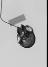 http://mczbase.mcz.harvard.edu/specimen_images/mammalogy/large/35718_Presbytis_cristata_ultima_skullx.jpg