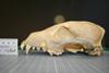 http://mczbase.mcz.harvard.edu/specimen_images/mammalogy/large/35919_Cuon_alpinus_alpinus_hl.jpg