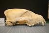 http://mczbase.mcz.harvard.edu/specimen_images/mammalogy/large/35929_Cuon_alpinus_alpinus_hl.jpg