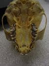 http://mczbase.mcz.harvard.edu/specimen_images/mammalogy/large/35944_hylobates_lar_lar_hv.jpg