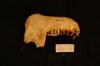 http://mczbase.mcz.harvard.edu/specimen_images/mammalogy/large/36259_Pygathrix_neameus_ml.jpg