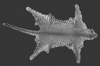 http://mczbase.mcz.harvard.edu/specimen_images/mammalogy/large/36709_Felis_pardus_adersi_d.jpg
