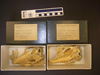 http://mczbase.mcz.harvard.edu/specimen_images/mammalogy/large/36741_Euphractus_sexcinctus_hv.jpg