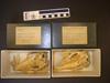 http://mczbase.mcz.harvard.edu/specimen_images/mammalogy/large/36742_Euphractus_sexcinctus_hv.jpg