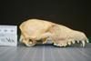 http://mczbase.mcz.harvard.edu/specimen_images/mammalogy/large/37021_vulpes_chama_hl.jpg