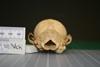 http://mczbase.mcz.harvard.edu/specimen_images/mammalogy/large/37021_vulpes_chama_hp.jpg
