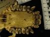 http://mczbase.mcz.harvard.edu/specimen_images/mammalogy/large/37358_Pongo_pygmaeus_hv.jpg
