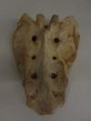 http://mczbase.mcz.harvard.edu/specimen_images/mammalogy/large/37363_Pongo_pygmaeus_sacrum.jpg