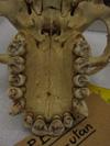 http://mczbase.mcz.harvard.edu/specimen_images/mammalogy/large/37364_Pongo_pygmaeus_hv.jpg