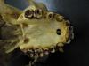 http://mczbase.mcz.harvard.edu/specimen_images/mammalogy/large/37375_hylobates_lar_mulleri_hv.jpg