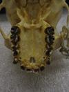 http://mczbase.mcz.harvard.edu/specimen_images/mammalogy/large/37377_hylobates_lar_mulleri_hv.jpg