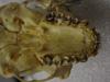 http://mczbase.mcz.harvard.edu/specimen_images/mammalogy/large/37384_hylobates_lar_mulleri_hv.jpg