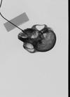 http://mczbase.mcz.harvard.edu/specimen_images/mammalogy/large/37387_Presbytis_cristata_ultima_skullx.jpg